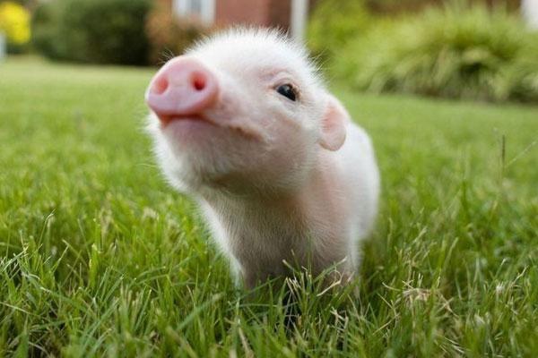 šta sanja svinja