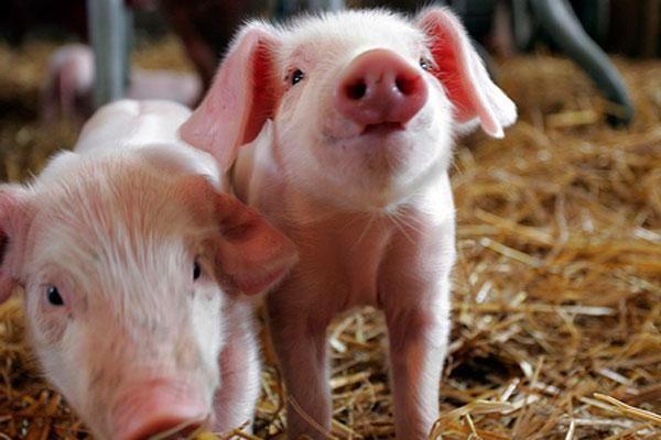 šta dreams malo svinje