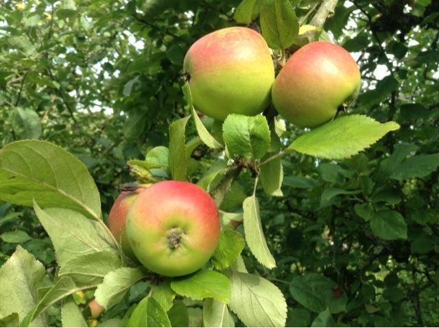 kada meda i jabuka spašena
