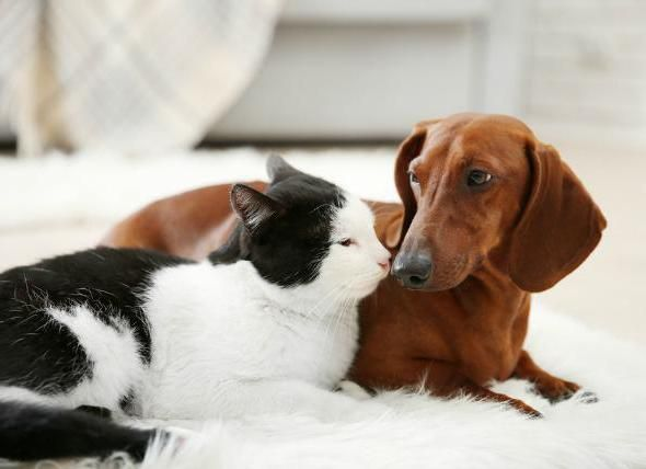 токсоплазмоз у собаки