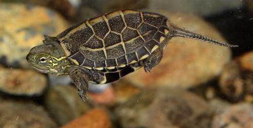 Trehkilevaya Kineski kornjača: opis sadržaja i funkcije