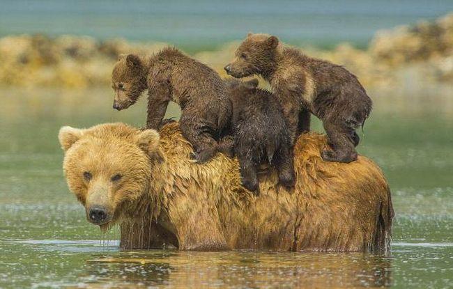 Bježi od medvjeda u snu. oneiromancija