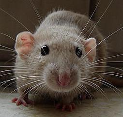 Što znači da ubije štakora u snu? Kakav san da ubije rat u snu?