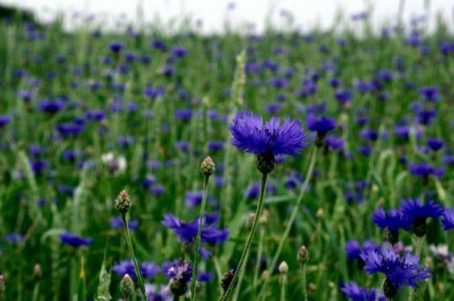Василек: лечебные свойства и противопоказания, описание цветка, фото