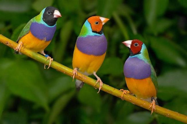 птица гульдова амадина