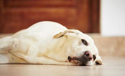 Водянка у собак: симптомы и лечение