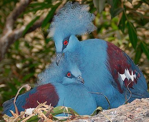 Веероносный венценосный голубь